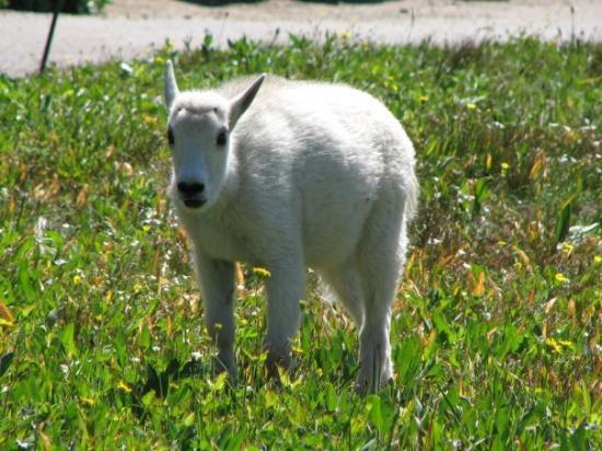Lake Mcdonald Lodge >> Cute baby mountain goat - 글레이셔 국립공원, 몬태나 사진 - 트립어드바이저