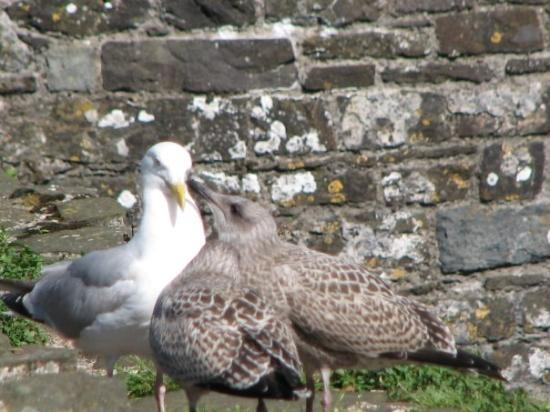 mother and baby seagulls - Picture of Conwy, Conwy County