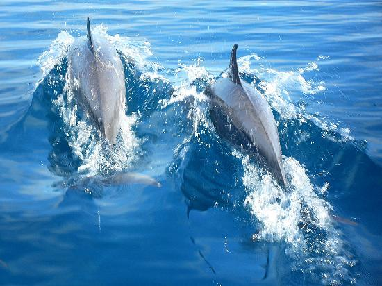 Lomalagi Resort ~ Fiji: See the big group of wild dolphins (50+)
