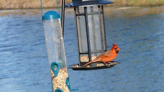 Rotonda West, FL: Northern Cardinal