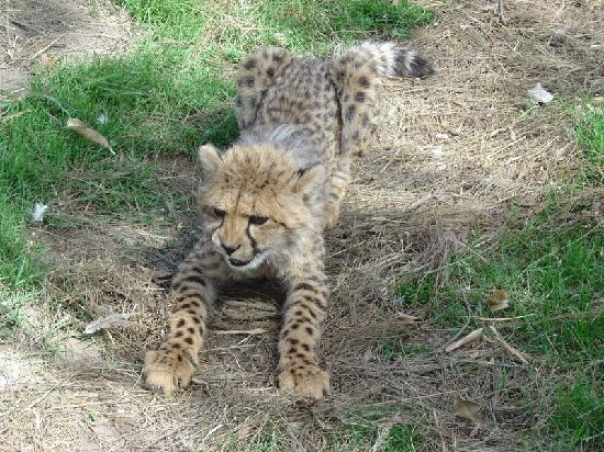 Hopewell Private Game Reserve: Young cheetah
