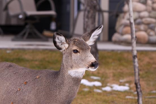 Elkwater Lake Lodge and Resort: Another visitor one afternoon. A mule deer doe.