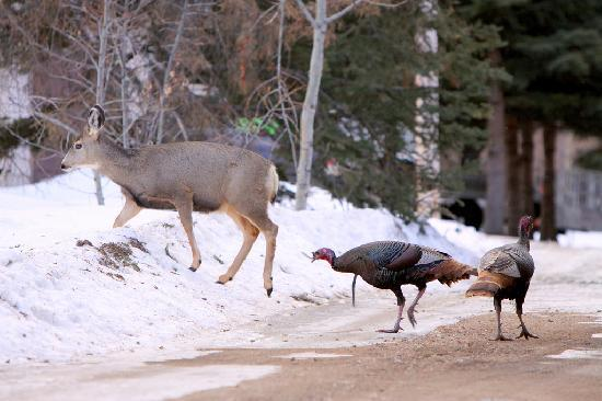 Elkwater Lake Lodge and Resort: Mule deer doe and wild turkeys across the street from the lodge