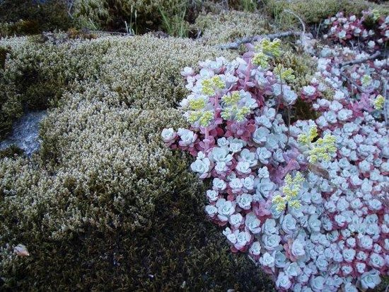 Central Saanich, Canada: Broad-Leaved Stonecrop and Moss