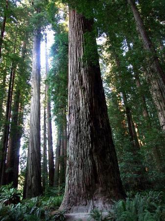Redwood National Park: Redwood trees