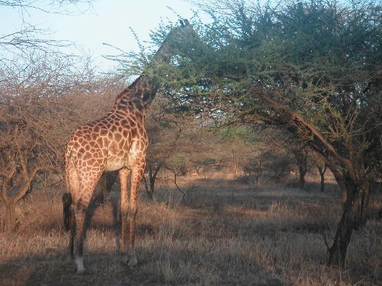 Severin Safari Camp: Giraffen ganz nah