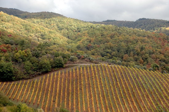 Vini Castelvecchi in Chianti: vineyards
