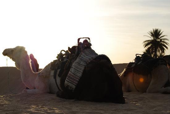 Hotel Sahara Douz: Dromedarios de Douz. A las puertas del Sáhara