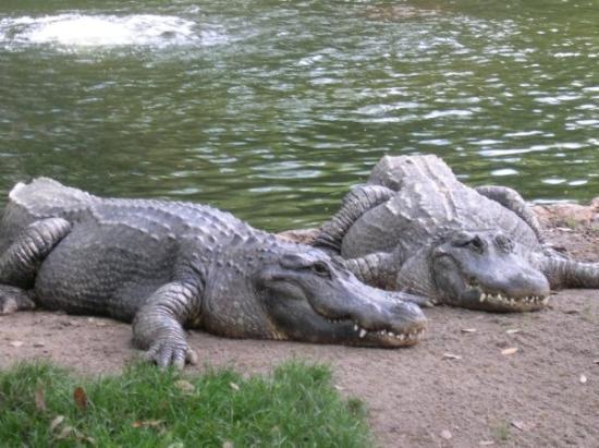 Saint Pete Beach, Floride : Aligators at Busch Gardens