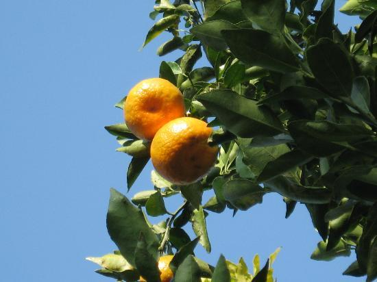 Tippi, India: oranges at the retreat