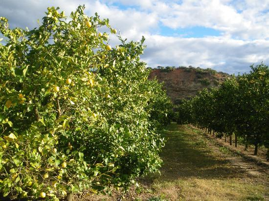 De Old Drift Guest Farm: lemon groves on the farm
