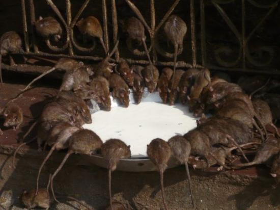 Rats - Bikaner