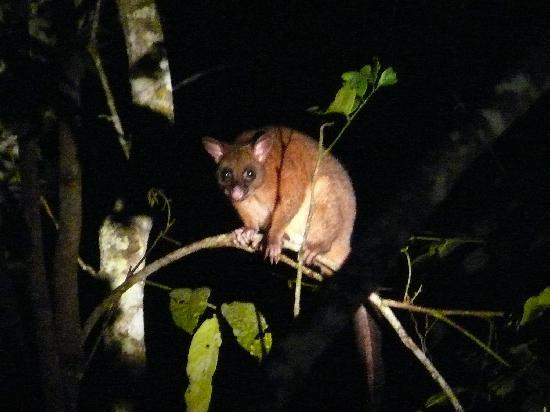 Chambers Wildlife Rainforest Lodges: coppery brush tailed possum