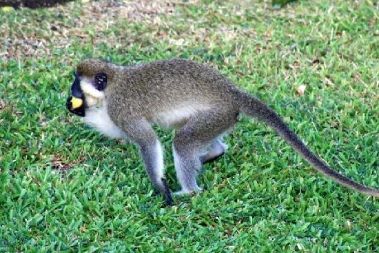 Sugar Cane Club Hotel & Spa : Green monkey at the hotel
