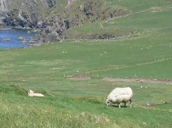 Slea Head Drive: Slea Head sheep