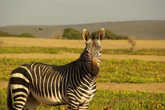 Impangele B and B & Self Catering Cottage: Mountain Zebra