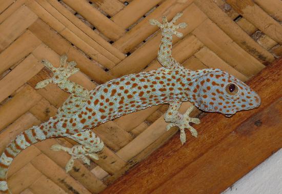Alam Shanti: Our room gecko