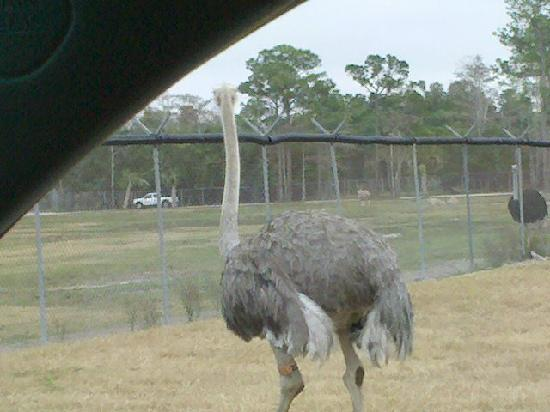 Lion Country Safari: A nearby ostrich