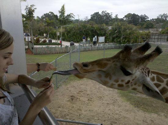 Lion Country Safari: Feeding giraffes