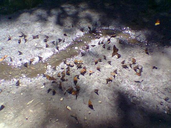 Mariposas Monarca en Valle de Bravo 8