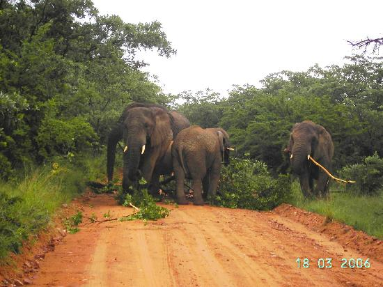 Mabula Private Game Reserve, Sydafrika: Me impresiono como tiraron un arbol y entre todos se lo desayunaron, no pudimos pasar.