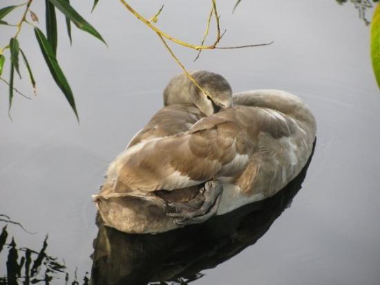 Челмсфорт, UK: Sleeping Queen's swan