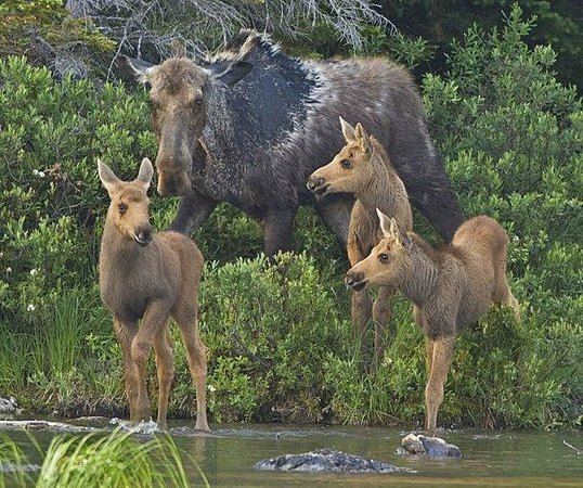 Farmington, ME: Mommy moose with her babies come upon a lone little moose. This was shot in the Grafton Park are