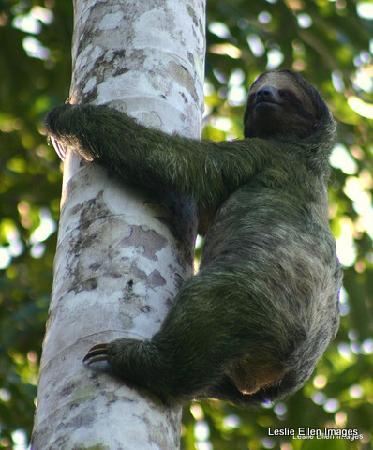 Toucan Rescue Ranch : Wild three toed sloth at the farm in Sarapiqui