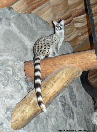 Ndutu Safari Lodge: Genet cat