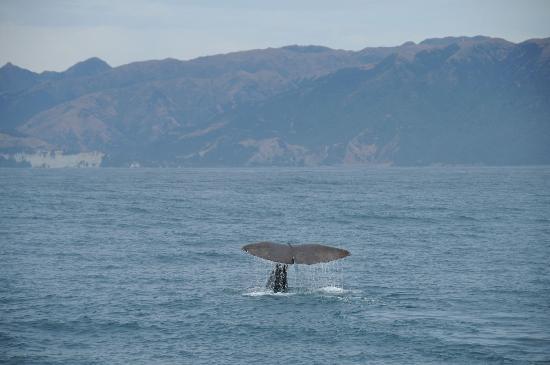 Kaikoura, New Zealand: Whale