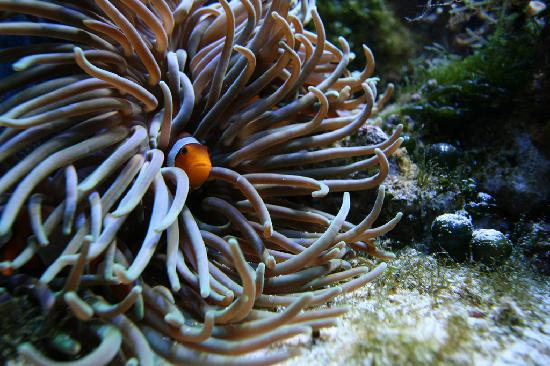 Oklahoma Aquarium: Clownfish Hiding in Anenome