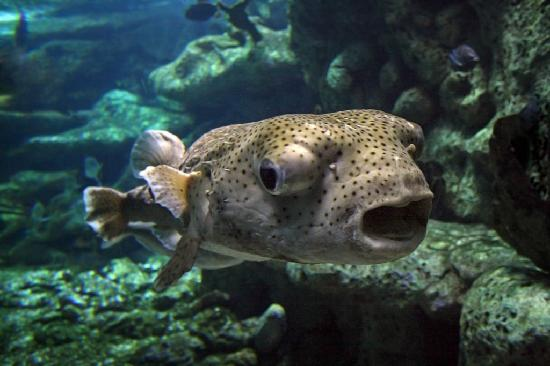 Big pufferfish in the coral reef picture of oklahoma for Puffer fish aquarium