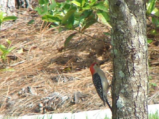 Rotonda West, FL: Red Bellied Woodpecker