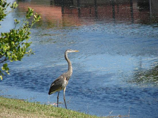 Rotonda West, FL: Great Blue Heron