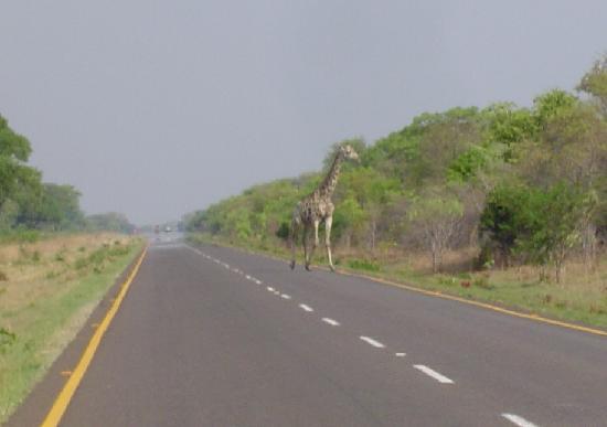 Elephant Sands Botswana: A giraffe crosses the road not far from the Elephant Sands enterance