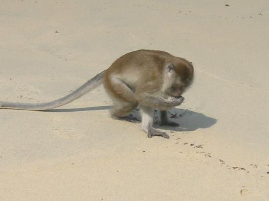 Club Med Cherating Beach : singe sur la plage
