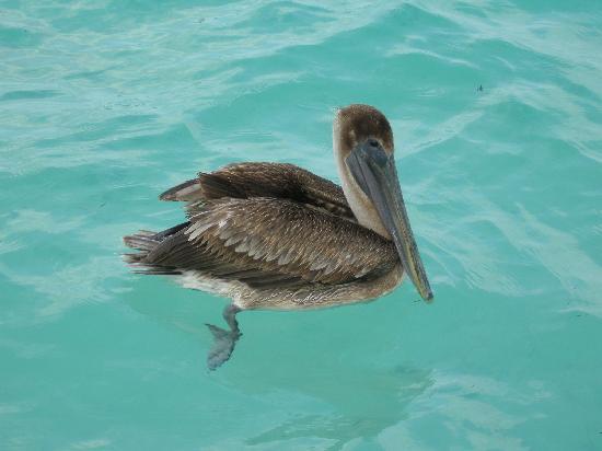 Hotel Ojo De Agua: Pelican