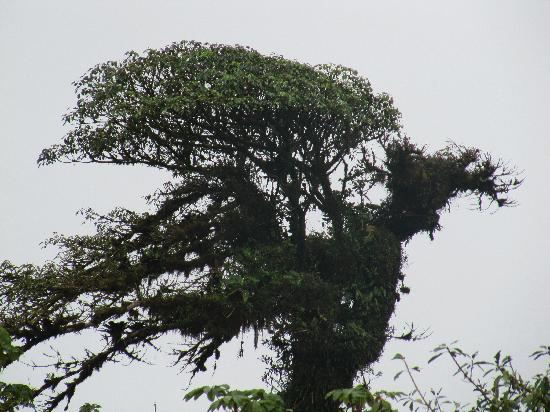 Villa Blanca Cloud Forest Hotel and Nature Reserve: The tree that looks like a bird.