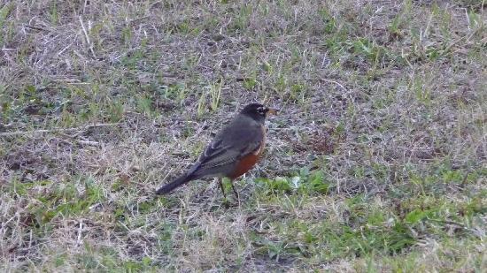 Rotonda West, FL: American Robin