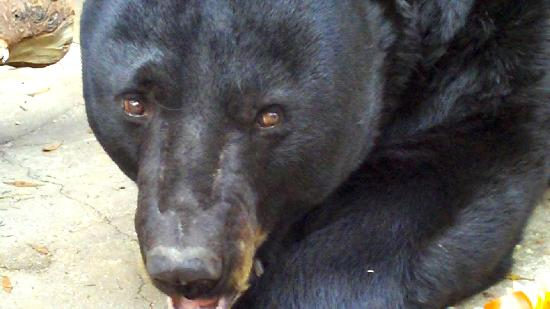 "See ""Castor"", a Florida Black Bear, in a natural lakeside setting at the Tallahassee Museum"