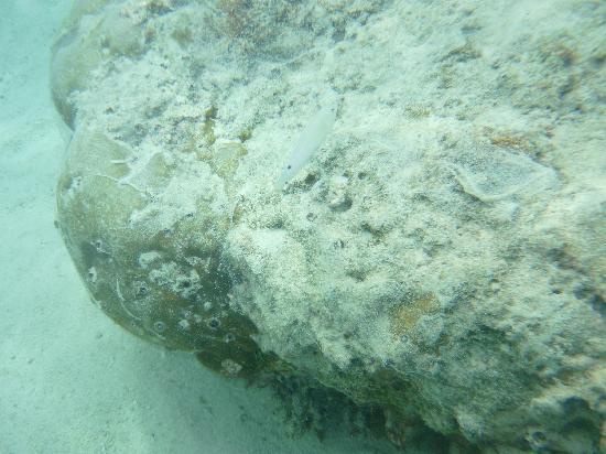 Pacific Islands Club Guam : ビーチに入るとすぐにさんご礁というのが素敵