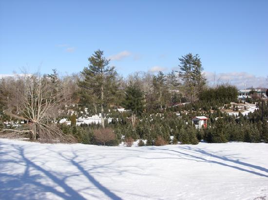 Huskins Court and Cottages: Tree farm next door.  Huskins house with white roof to right.