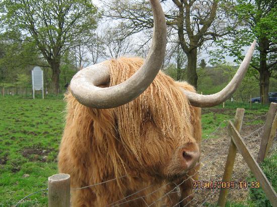 Loch Achray Hotel: Hamish the bull