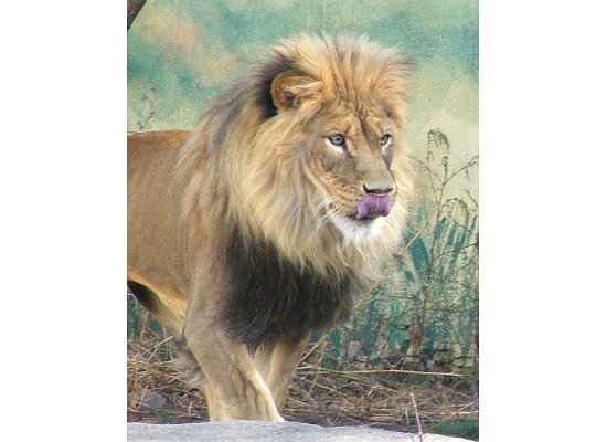 Rosamond Gifford Zoo: Lion