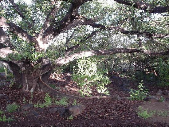 El Pedregal Hotel en la Naturaleza: A monster fig tree that anchors their lands