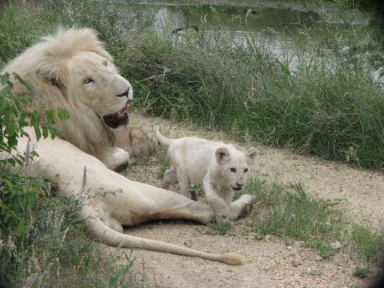 Elandela Private Game Reserve : lions blancs