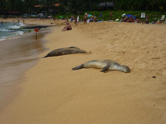 Poipu Beach Park: Cute Monk Seals