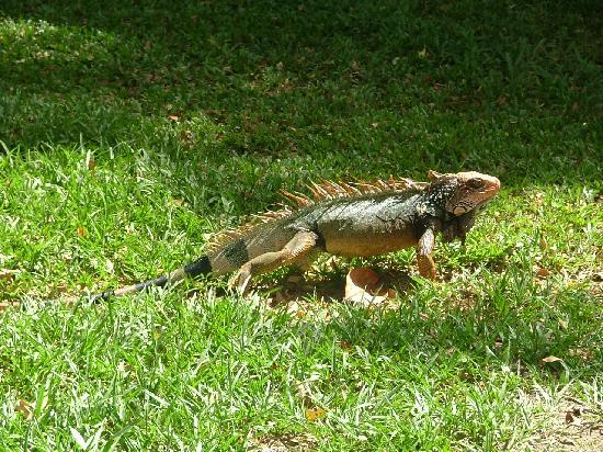 Corcovado Beach Lodge: Iguana around Parrot Bay
