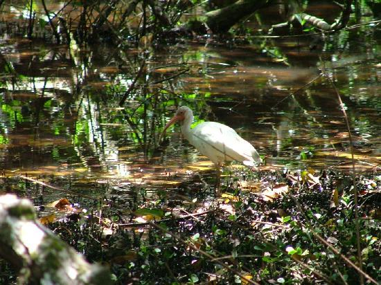Corcovado Beach Lodge: White Ibis at Parrot Bay