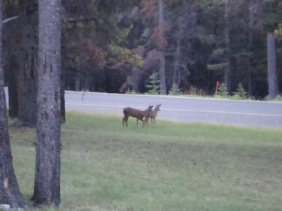 HI-Banff Alpine Centre: deer in the front of the hostel